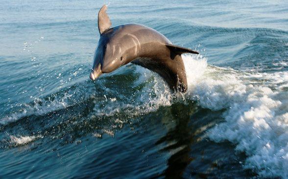 Hallan alta concentración de mercurio en delfines de costas de los Eveglades