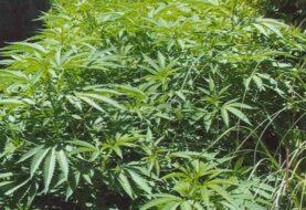 Este martes entra en vigor legalización de la marihuana medicinal en Florida