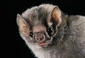 El Diphylla, el murciélago vampiro brasileño que prefiere la sangre humana