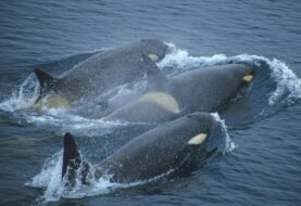 Aparecen muertas al menos 81 orcas negras en la costa sur de Florida (EE.UU.)