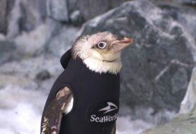 Pingüino de SeaWorld recupera plumaje tras vestir un traje térmico