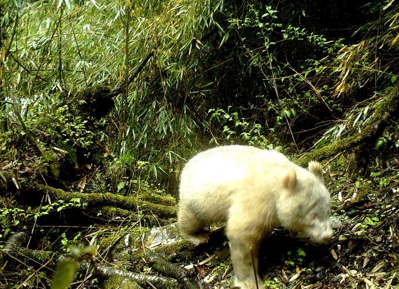 Aparece por primera vez un panda albino en China