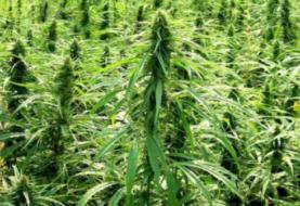 Senador mexicano pide anteponer salud a mercado en legalización del cannabis