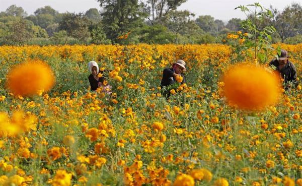 México dice tener garantizado abastecimiento de flores para el Día de Muertos