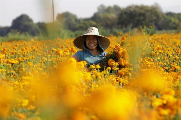 Cempasúchil: el negocio de una flor que simboliza el Día de Muertos