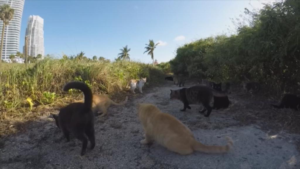 Miami, a la caza del gato callejero
