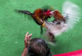 Puerto Rico firma leyes a favor de industria del gallo ante veto federal