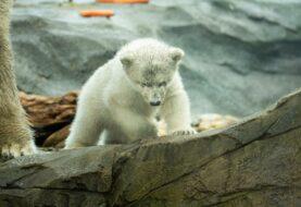 El zoológico de Viena presenta una cría de oso polar