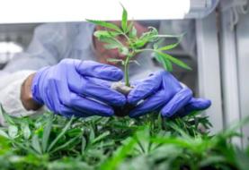 Consejo Nacional Agropecuario está a favor del cultivo de marihuana en México
