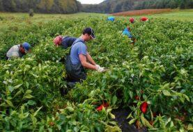 Mexicanos llegan a Canadá para trabajar en el sector agrícola