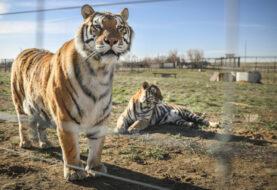 """Los creadores de """"Tiger King"""" preparan una continuación en Netflix"""
