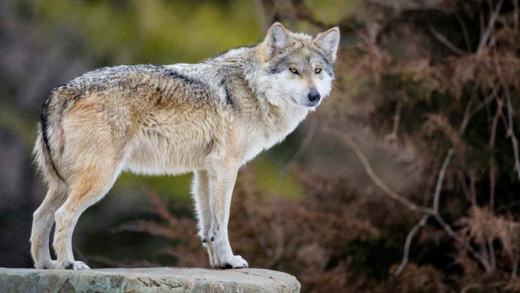 Nacen ocho cachorros de lobo gris mexicano en Saltillo