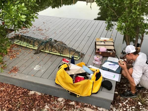 Atrapan a un cocodrilo de tres metros en una casa de los Cayos de Florida