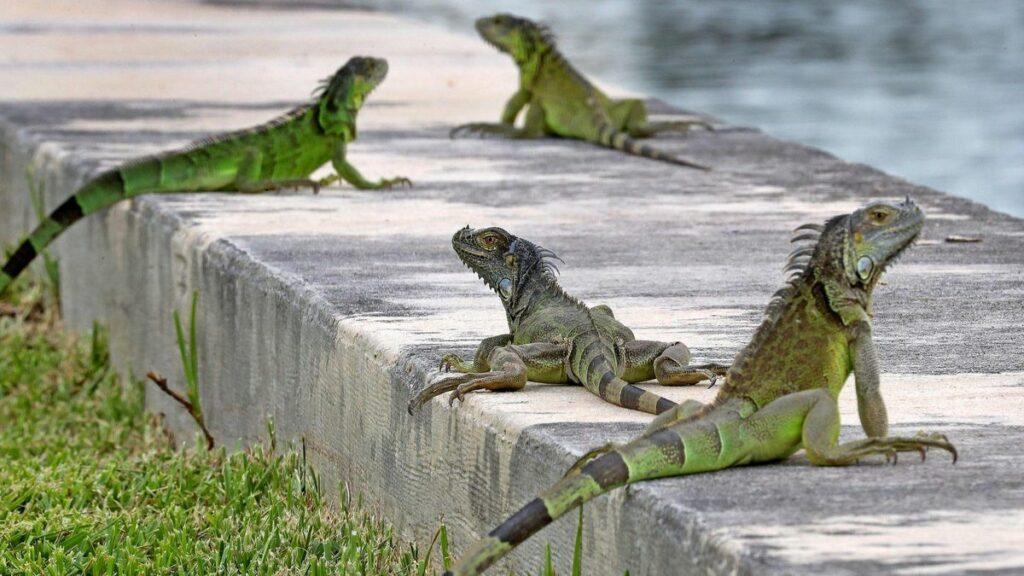 """Iguanas verdes y tegus se convierten en animales """"prohibidos"""" en Florida"""