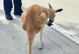 """Policía """"detiene"""" a canguro que paseaba por Fort Lauderdale"""