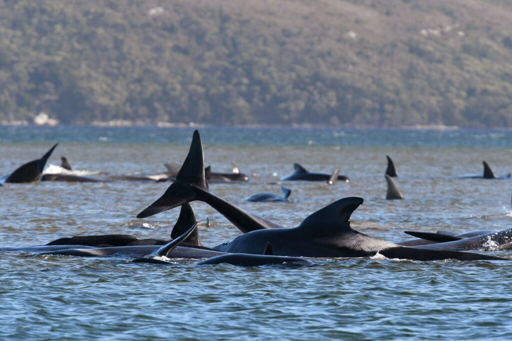 Australia trabaja contra reloj para salvar a las últimas 20 ballenas varadas