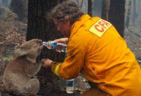 Los koalas hacen tambalearse al gobierno del estado más poblado de Australia