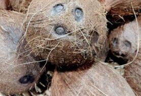 El aceite de coco destruye el virus de la COVID-19, según científicos filipinos