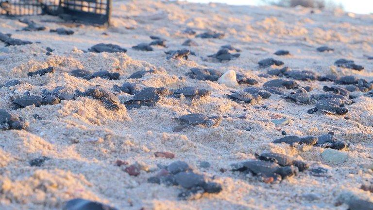 Pandemia favorece histórica eclosión de tortugas en México