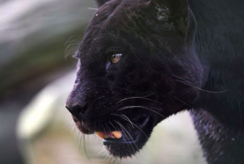 Tres panteras han muerto atropelladas en Florida los primeros días de 2021