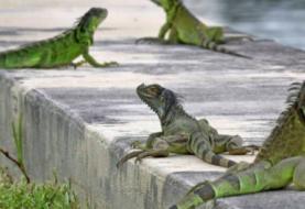 Florida prohíbe la venta y posesión de iguanas por ser una especie invasora