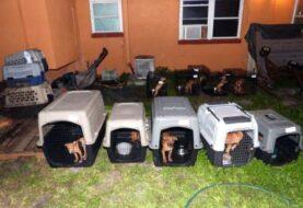 Rescatan en EE.UU. a 42 perros utilizados para peleas ilegales
