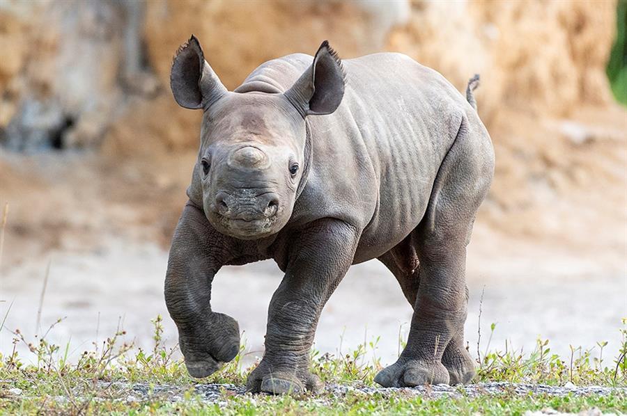 Nace en el zoológico de Miami un rinoceronte negro