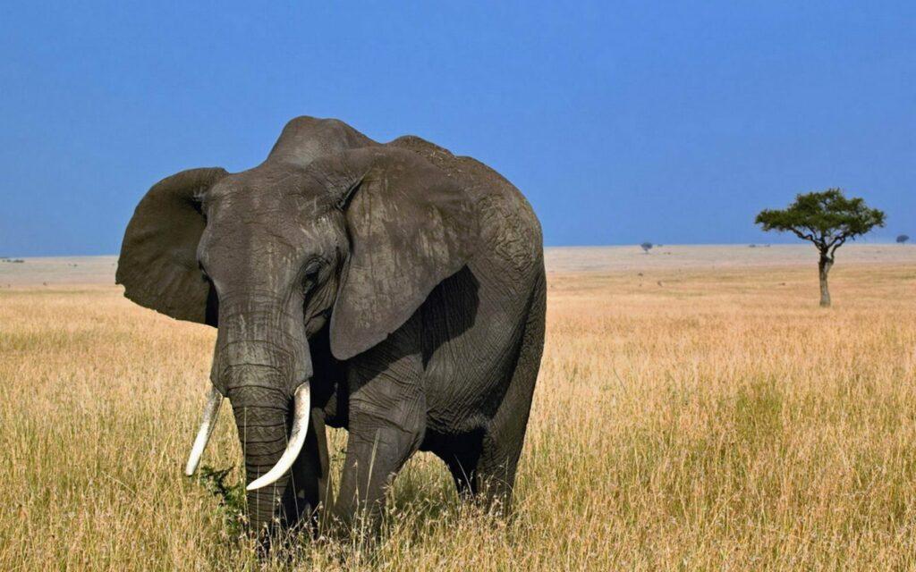 Elefantes africanos están en peligro de extinción
