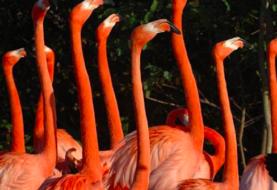 Zoológico de Miami crea grupo científico para preservar el flamenco autóctono