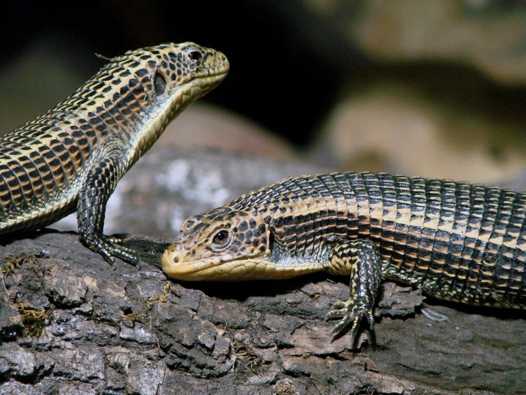 Científicos descubren en Venezuela una nueva especie de lagarto