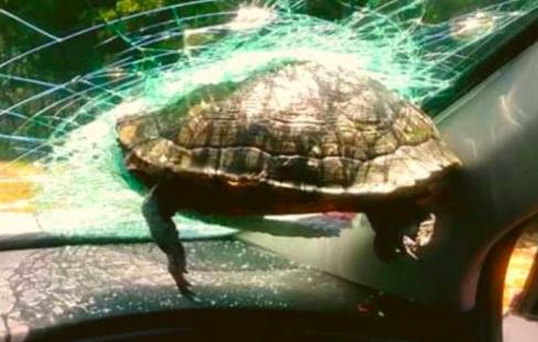 Una tortuga impacta el parabrisas de un auto en Florida y hiere a una mujer