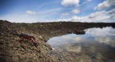 Identifican el origen del patógeno que aniquila los cangrejos en el mundo