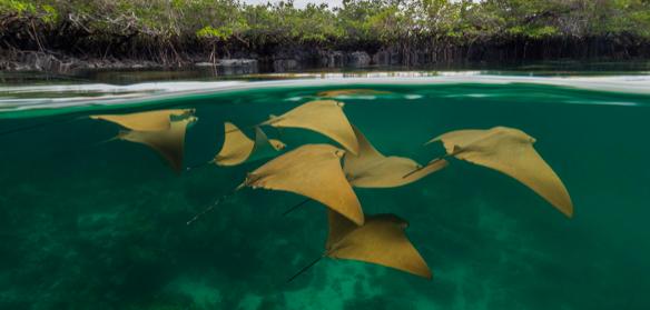 Manglares de Galápagos son ecosistemas clave para la diversidad de peces
