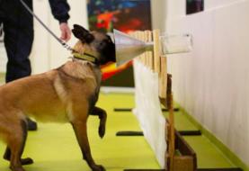 Olfato canino es muy fiable para detectar covid-19, según un estudio francés
