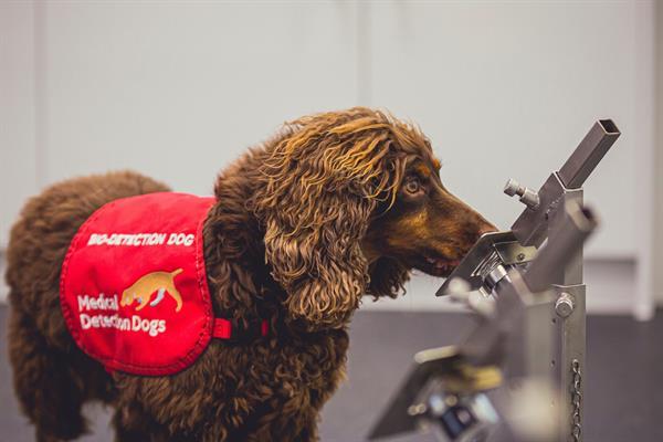 Los perros pueden detectar la covid con una precisión de hasta el 94 %