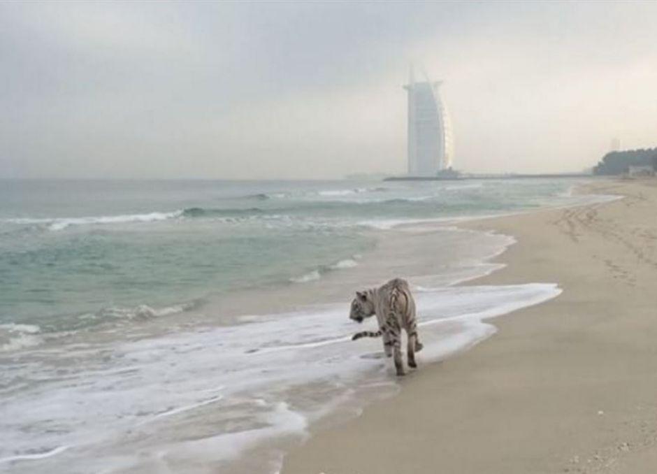Policía de Dubái busca a un tigre suelto en zona residencial