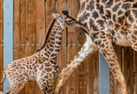 Nace una jirafa en el parque Animal Kingdom de Orlando