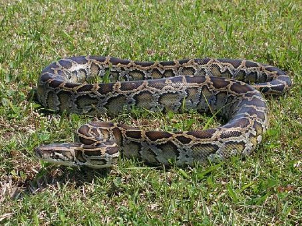 Florida declara la guerra a las pitones de los Everglades