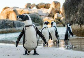Veterinarios investigan muerte de 7 pingüinos en Florida