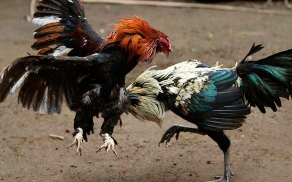 Policía realizó detenciones por peleas de gallos en Florida
