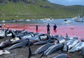 Matan a 1.400 delfines en Islas Feroe por una tradición