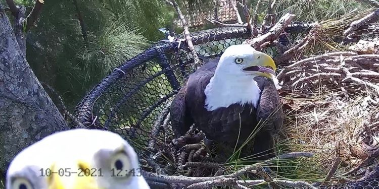 Zoo de Miami mostrará la vida de las águilas calvas
